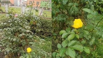 Mimo grudnia róża zakwitła w ogrodzie w Rychnowie