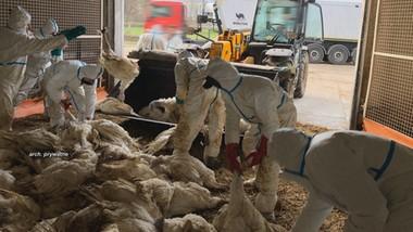 Zagazowano 40 tysięcy indyków, żaden nie miał ptasiej grypy
