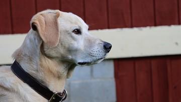 Ile ludzkich lat ma pies? Naukowcy: da się to policzyć