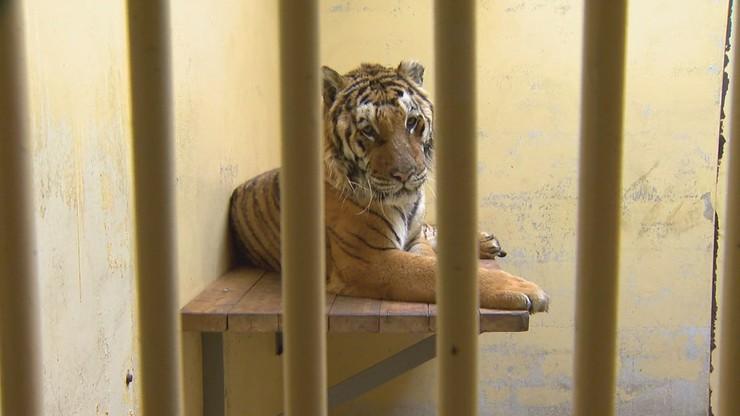 Zbiórka na tygrysy z poznańskiego zoo. Podano wynik