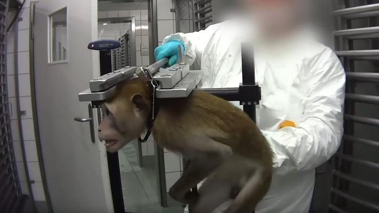 Okrutne testy na zwierzętach. Jest decyzja po śledztwie w niemieckim laboratorium