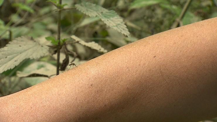 Plaga komarów w miastach. Dlaczego jest ich tak dużo?