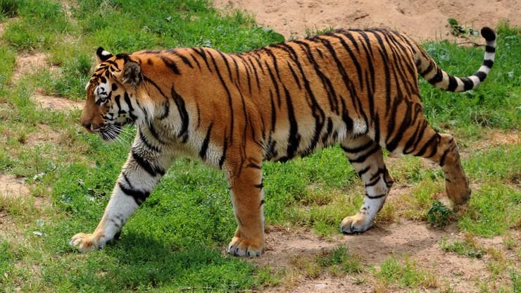 Tygrys przeszedł 3 tys. kilometrów w poszukiwaniu siedliska