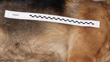Pies wpadł w sidła i zmarł w męczarniach. Policja poszukuje kłusownika