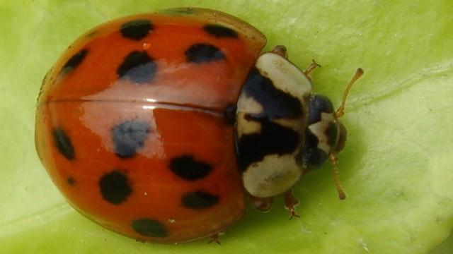 BADACZE owadów wiedzą, jak pozbyć się z domu agresywnych BIEDRONEK. Nie jest to takie proste...