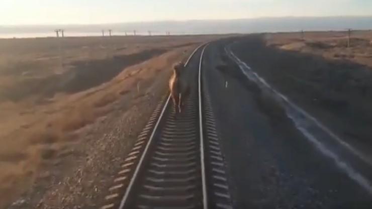 Uparty wielbłąd w Rosji. Biegł po torach, tuż przed pociągiem