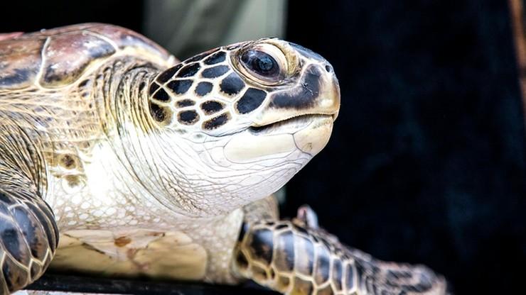 Złamała zakaz opuszczania domu, by wyjść na spacer z... żółwiem