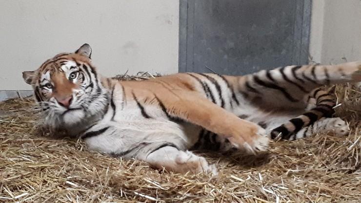 """Stan tygrysów """"znacznie się poprawił"""". Wszystkie otrzymały imiona"""