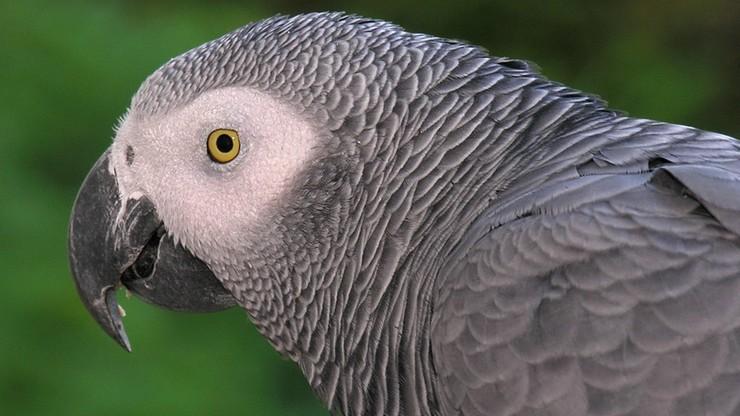 Papugi w zoo nauczyły się przeklinać. Zachęcały się nawzajem i obrażały gości