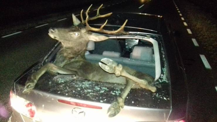 Jeleń w bagażniku. Zwierzę wpadło do auta