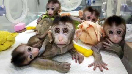 Naukowcy stworzyli hybrydę człowieka i małpy. Mózg został udoskonalony ludzkimi genami