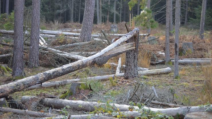 Kornik wciąż groźny. Milion hektarów lasów zagrożonych