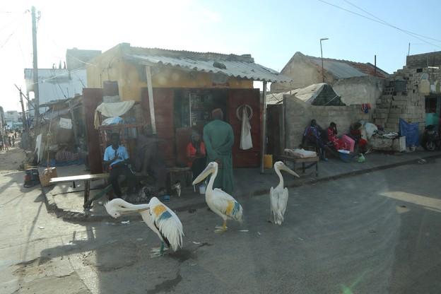 Do połowu ryb Senegalczycy wykorzystują pelikany
