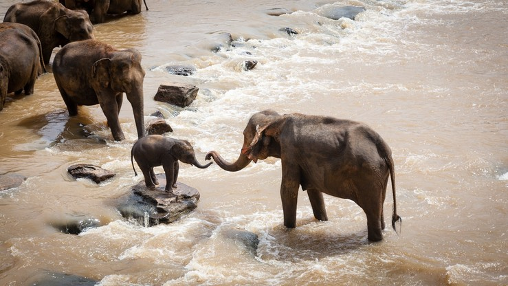 W parku narodowym zginęło sześć słoni. Próbowały ratować  swego pobratymca
