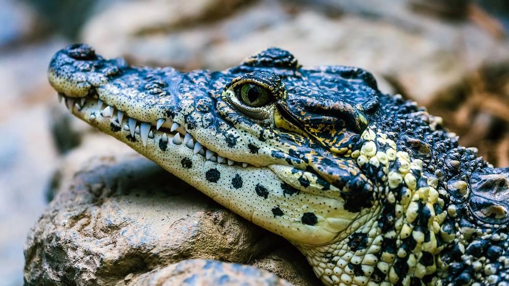 Aligatory potrafią zregenerować utracony ogon. Pomogą nam osiągnąć taką zdolność