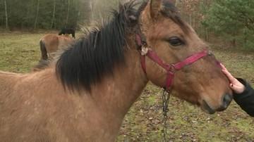 Odebranie właścicielowi maltretowanego konia